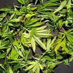 Square_tiempo_de_recogida_de_marihuana