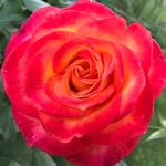 rose818