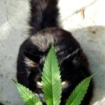 Kannabis_Kenn