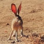 ·Rabbit