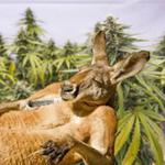G'Day Kangaroo
