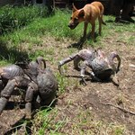 Square_coconutcrabs