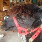 Square_arthur_the_alpaca
