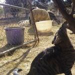 Square_cha_chi_ranch_cat